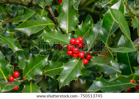 Holly foliage with matures red berries. Ilex aquifolium or Christmas holly.  #750513745