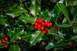 Holly green foliage with red berries. Ilex aquifolium Christmas holly or Evergreen boughs green leaves and red berries.