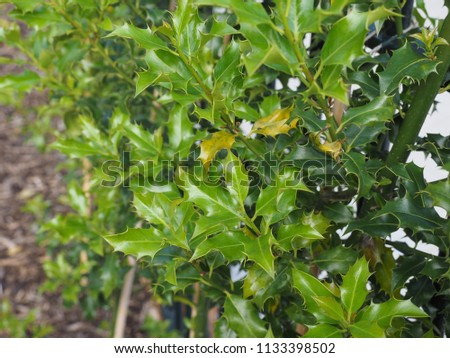 holly (Ilex aquifolium) aka English holly or European holly or Christmas holly plant #1133398502