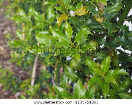 holly (Ilex aquifolium) aka English holly or European holly or Christmas holly plant #1133751863