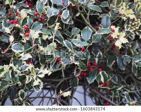 holly (Ilex aquifolium) aka English holly or European holly or Christmas holly plant