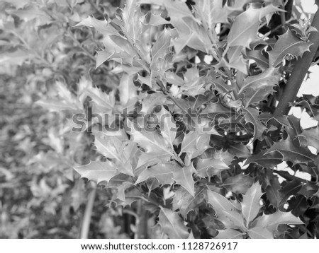 holly (Ilex aquifolium) aka English holly or European holly or Christmas holly plant in black and white #1128726917