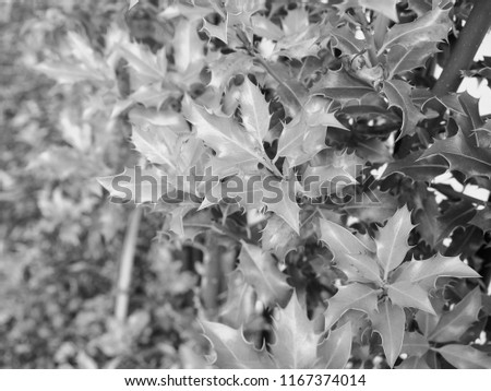 holly (Ilex aquifolium) aka English holly or European holly or Christmas holly plant in black and white #1167374014