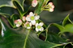 Holly - Ilex aquifolium Close-up of flowers