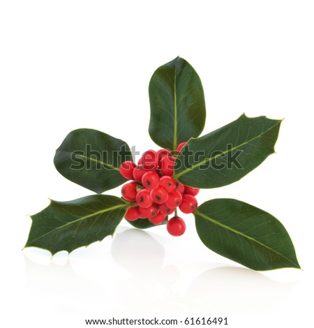 Holly leaf sprig with red berries, isolated over white background with reflection