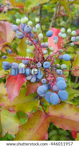 Holly-leaved barberry, the Oregon grape is a shrub native to much of the Pacific coast. Its year-round foliage of waxy green leaves. It bears dark blue berry that ripen late in the fall.