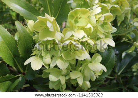 Holly leaved hellebore, also known as the Corsican hellebore (Helleborus argutifolius) in flower with a background of leaves and flowers of the same plant.