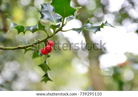 Holly leaves and Berries #739295110