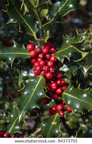 Holly plant branch with ripe red berries in autumn