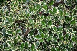 Holly plant. Green and white leaves of hedgehog holly evergreen bush. Traditional Christmas decoration. Fresh foliage. Park or forest nature.