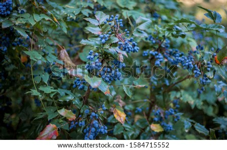 Holly plant (holly) with blue berries on a branch. Evergreen shrub - a symbol of Christmas.