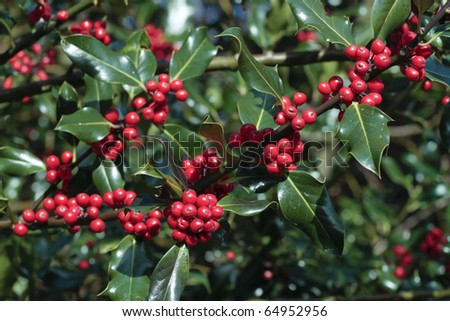 Holly plant with ripe red berries
