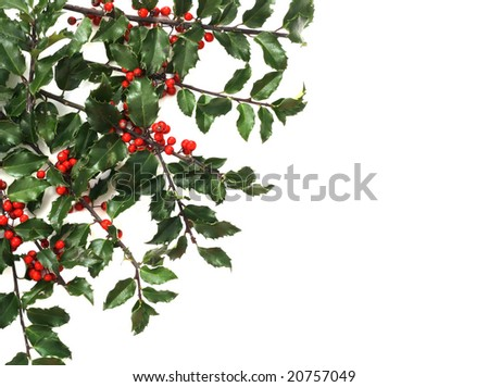 holly sprigs in corner with white background, copy space