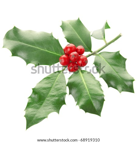 Holly twig isolated on white, clipping path included
