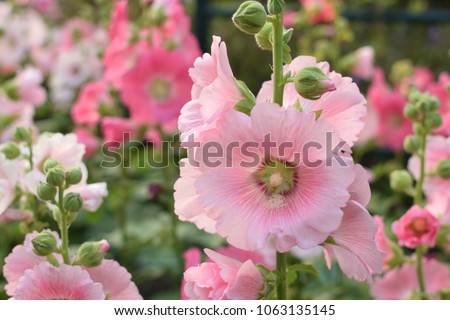 Hollyhock flower ( Alcea rosea ) in the garden.
