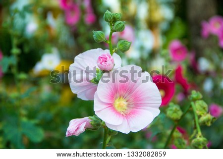 Hollyhock,Hollyhock in the Garden,Close up of hollyhock  and blurred background.