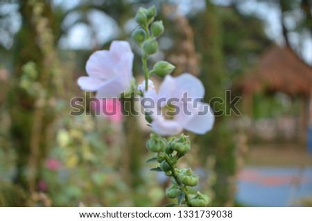 Hollyhock, or Alcea rosea, a species of flowering plant and herb with vibrant and attention-grabbing flowers, with colors ranging from light pink to dark purple, blooming in garden