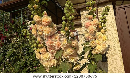 Hollyhock Peaches -n- Dreams against a beige fence. The hollyhock variety, that blooms a double puffy pastel peach bloom that seems to be blushing tints of pink and yellow.