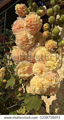 Hollyhock Peaches -n- Dreams is a hollyhock variety that blooms a double puffy pastel. Double, gigantic rounded blooms of softest peachy-yellow, blushed with pink, festoon the tall, sturdy stalks.