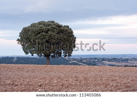 Holm oak on plowed field