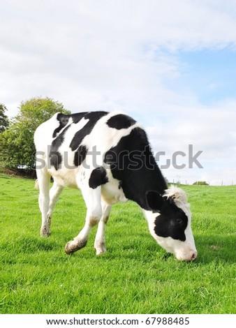 Holstein Calf Grazing in a Green Field