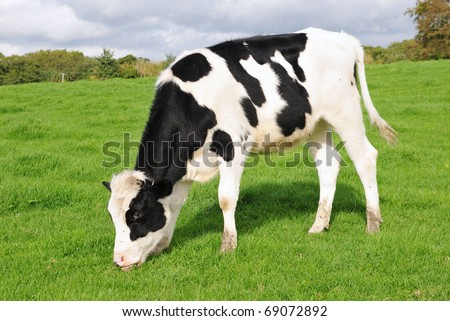 Holstein Calf Grazing in a Green Field