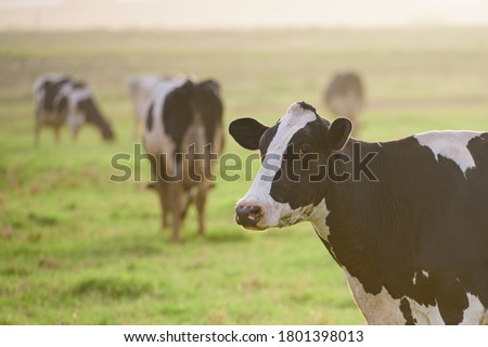 Holstein cow. Cows at sunset. Happy single cow on a meadow during sunny day