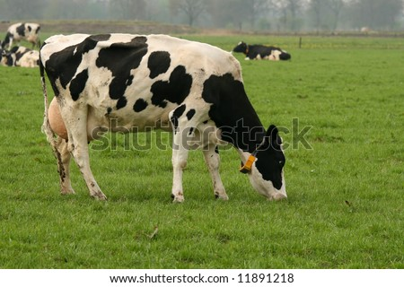 Holstein cow in the field eating grass