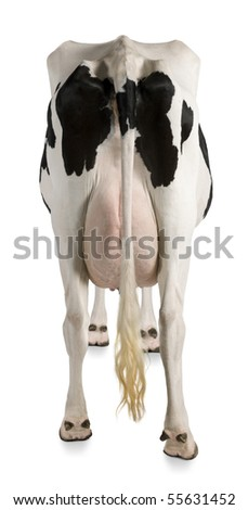 Holstein cow, 5 years old, against white background, rear view