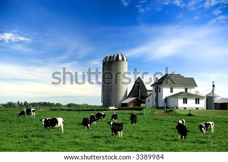 Holstein cows in pasture on farm under blue sky