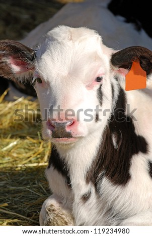 Holstein dairy calf laying in straw.