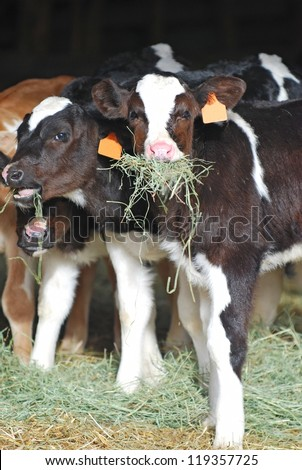 Holstein dairy calves eating hay.