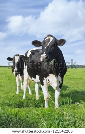 Holstein-Friesian Cattle In A Green Dutch Meadow With A Blue Sky And Clouds.