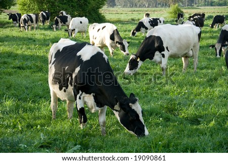 Holstein-Friesian cows grazing in a lush, green field, near Moss Vale, New South Wales, Australia