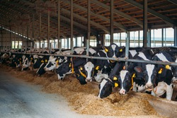 Holstein Frisian diary cows in free livestock stall.