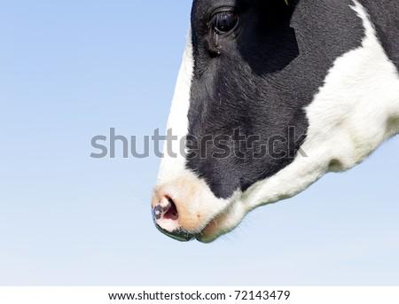 Holstein head