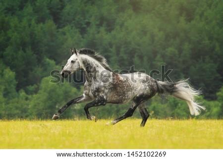 Holstein horse gallop summer Kwik Stockfoto ©