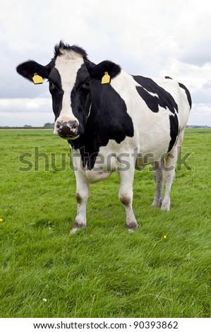 holstein milk cow