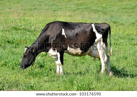 Holstien cow standing in a sunny green field