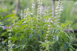 Holy basil flowers Sweet basil plant in natural grown garden