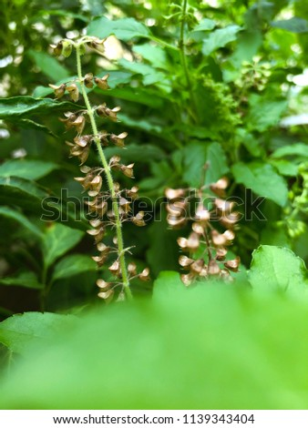 Holy basil or sacred basil, it is a herb for cooking. Favorite food in Thailand is pork with holy basil. Holy basil flower is so beautiful. #1139343404