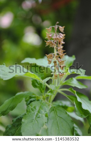 Holy basil or sacred basil, it is a herb for cooking. Favorite food in Thailand is pork with holy basil. Holy basil flower is so beautiful. #1145383532
