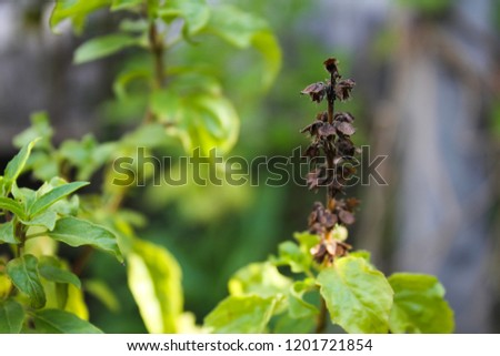 Holy basil or sacred basil, it is a herb for cooking. Favorite food in Thailand is pork with holy basil. Holy basil flower is so beautiful. #1201721854