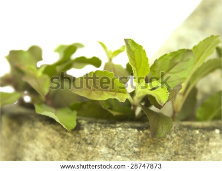 holy basil tulasi and stone and pestle mortar closeup isolated