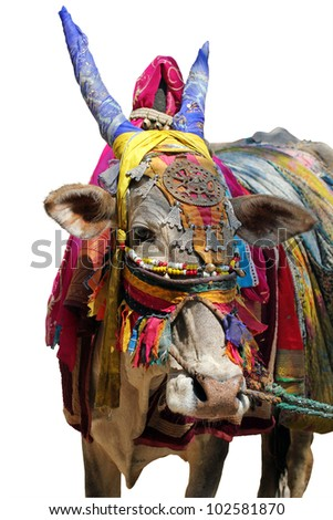 Holy indian cow decorated with colorful cloth and jewelry