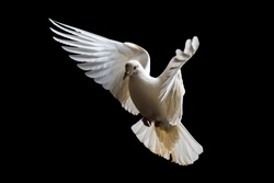 holy white bird in flight , white dove, flight