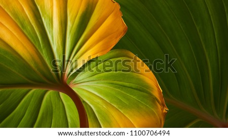 Homalomena foliage, Green leaf with red petioles background, Pattern of green leaves texture                             #1100706494