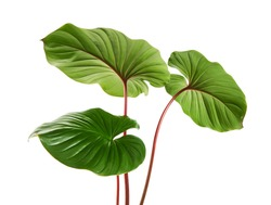 Homalomena foliage, Green leaf with red petioles isolated on white background, with clipping path