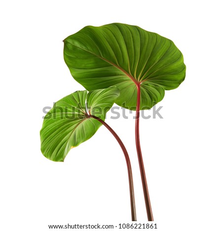 Homalomena foliage, Green leaf with red petioles isolated on white background, with clipping path   ストックフォト ©