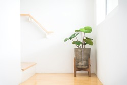 Homalomena Wallisii or King of Heart plant or house plant in pot loft style with wooden stand located at stair near by light window. Concept home decoration and house and living room plant.